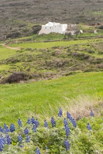 Lupens blooming along the path to the monastery of Agios Kyriaki