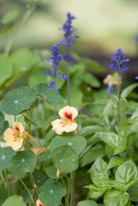 nasturtium, basil and salvia