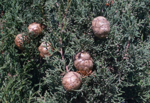 Cypress cones, Paros, Greece...November 2015